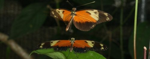 Heliconius Database (Butterfly Genetic Group, University of Cambridge)